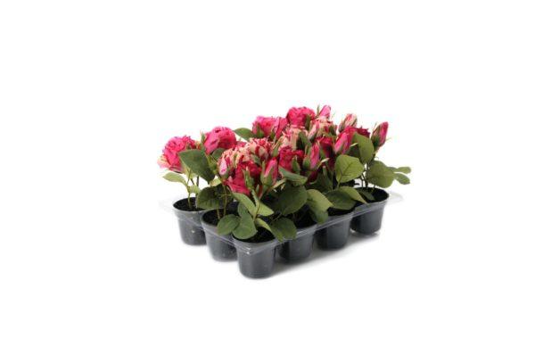 Mini Rose in Pot Mix