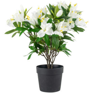 Azalea in Pot White