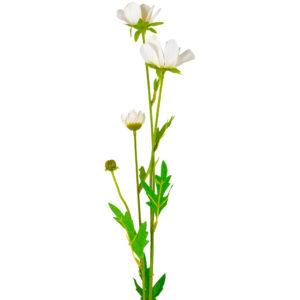 Japanese Anemone White
