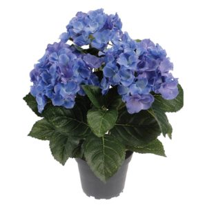 Hortensia in Pot Blue