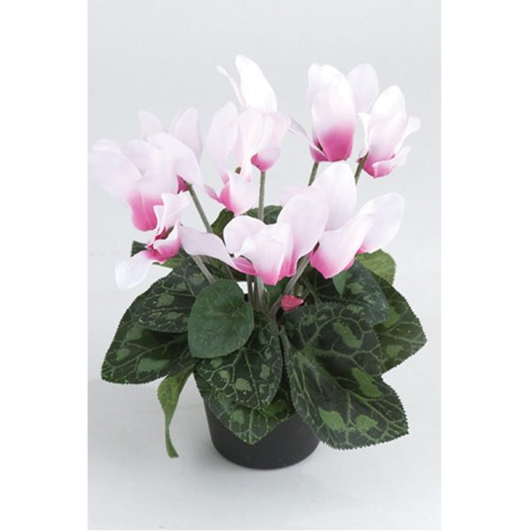 Cyclamen Pink in Pot