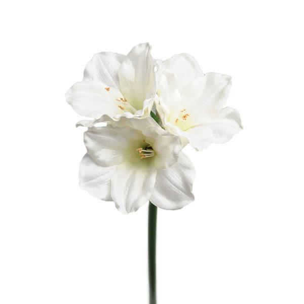 Amarylis White