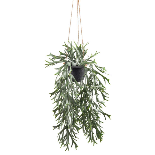 Stag Fern in Pot Hanging