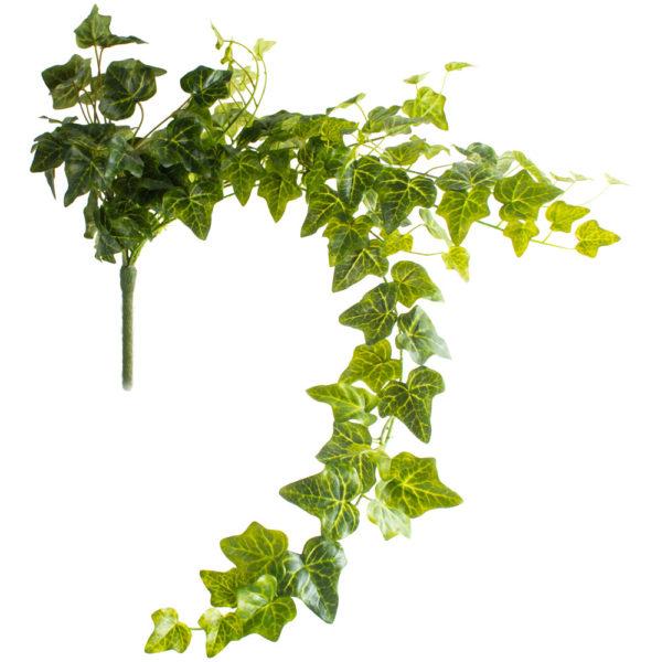 Ivy Trailing