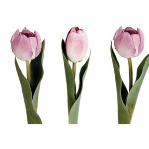 Tulip Mauve Mix